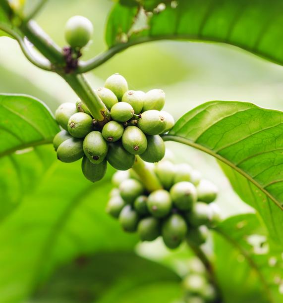 Propiedades del café verde