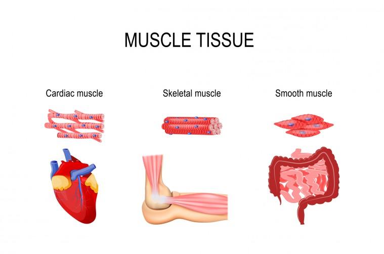 Cómo se clasifican los músculos del cuerpo humano